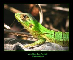 Costa Rican Green Tree Anole by WindCrest