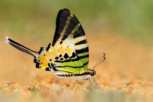Five Bar Swordtail 010510 by inckurei