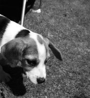 A Beagle Summer by jools-cyrus