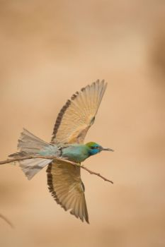 Little Green Bee-eater by rat-or-rat