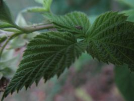 Raspberry Leafs by Toderico