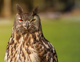 eagle owl by deoroller