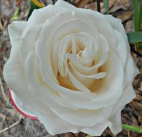 Mother's Day White Rose by Calypso1977