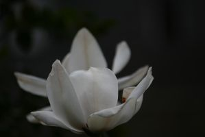 view to white magnolia 2 by ingeline-art