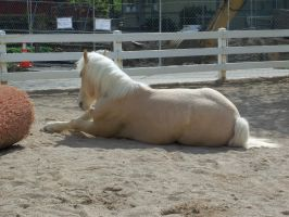 Cream Draft Horse Stock 04 by jcjrichter06