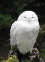 Snowy Owl by allison731