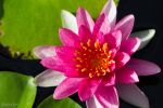Red water lily by CyclicalCore