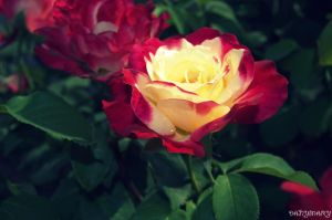 Rose by DANYMARY