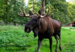 Papa Moose - Alces alces by AngelOfDarkness089