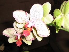 My Orchid 2. by AngelTimi88