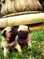Baby Pugs 2 by schmoo15