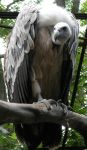 Amazing Vulture by Aexalven