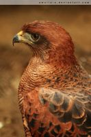 Hawk Profile by amalia-x