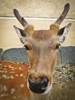 Deers in Nara II by Ajumska