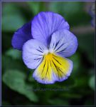 Cheerful Pansy for Bia by LadyAliceofOz
