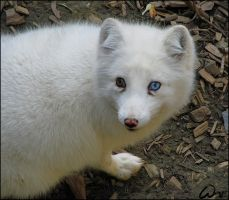 Arctic fox: behind blue eye by woxys