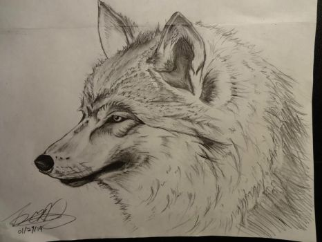 Wolf drawing from 2014 by jcaitendo