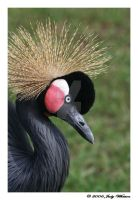 African Crowned Crane 2 by Tazzy-