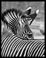 Zebra 4 by kittykitty5150
