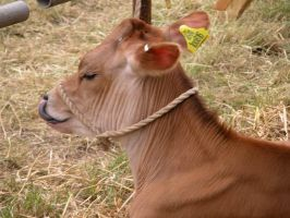 Thornton Dale Show Cow Thing by jonnymorris