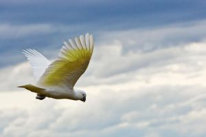 Sulphur Crested Cockatoo 162 by chezem