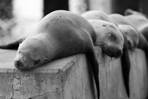 Sleepy Sea Lions by StevenDavisPhoto