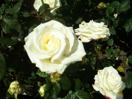 White Rose II by robynx13