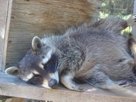 Hassal the raccoon by Christinan10