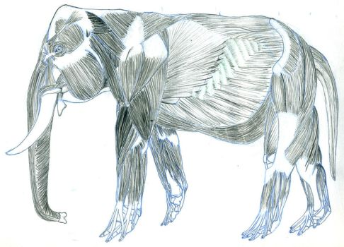 Elephant Muscle Study by UnamedKing
