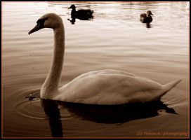 swanheart by LifeThrough-a-Lens
