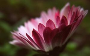pink and white daisy by herosquirrel