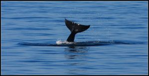 Orca Tail Fluke by nitsch