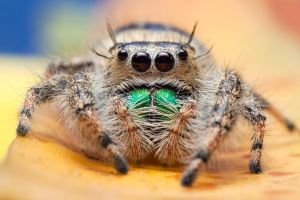Phidippus by ribbonworm
