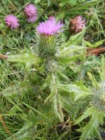 Thistle by LilMickey27