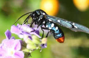 White Spotted Wasp Moth II by ce3Design