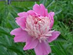 Pink Peony by ponygirl0316