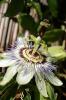 Passionfruit Flower by FallowpenStock