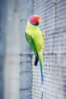 NZ Parrot by Chunga-Stock