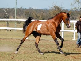 GE arabpinto canter side view neck arched by Chunga-Stock