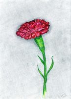 carnation by omagrandmother