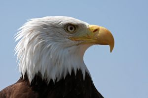 Bald Eagle Portrait 2 by cycoze
