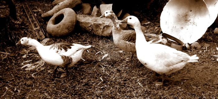 Gooses by Arzhael71