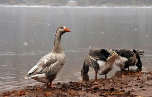 'snow' geese... by kayaksailor