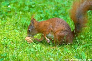 squirrel finds a walnut by Philophobos