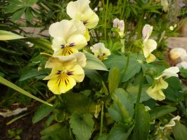 Viola lutea by TimeCollector