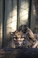 Clouded Leopard LP012208 by hoboinaschoolbus