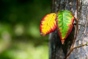 Colorful Leaves by TomFawls