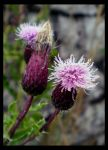 Thistles 2 by ChristinaH292