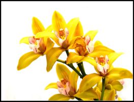 Yellow Orchid by kanes