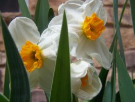 White Daffodils 2 by theNanna